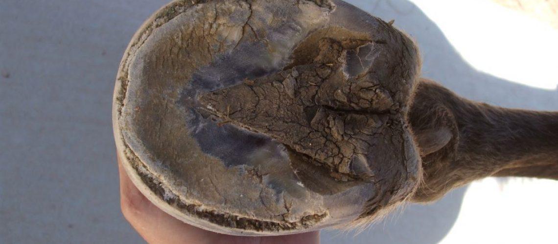 White Line Disease - Cavallo Hoof Boots